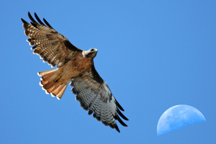 Red-tailed_Hawk_with_moon_over_Estero_Bay_CA_-_composition_red-tail-moon-composite-2630s_(323660913).jpg